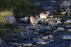 Watchful Drink (csnyder103) Tags: wild montana wildlife drinking goat yellowstonenationalpark trio pronghorn pronghornantelope gardinerriver