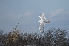 Snowy Owl in Flight (donna lynn) Tags: winter newyork nikon january owl d750 nys snowyowl 2016 nassaucounty buboscandiacus familystrigidae orderstrigiformes