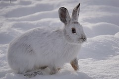 In his element. Finally disguised by snow. (beyondhue) Tags: winter white snow snowshoe bay hare wildlife sony ottawa disguise shirleys americanus lepus a6000 beyondhue