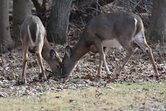 Siblings (dbifulco) Tags: two nature newjersey nikon wildlife 14 fawn tc whitetaileddeer fishhatchery hackettstown alumnifields nikkor300f4pfed