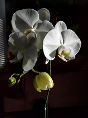 in bloom (Ian Muttoo) Tags: ontario canada orchid gimp mississauga 20160123140817edit