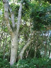 starr-091104-0984-Castanospermum_australe-habit-Kahanu_Gardens_NTBG_Kaeleku_Hana-Maui (Starr Environmental) Tags: castanospermumaustrale