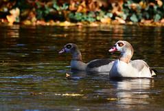 Nilgans (Alopochen aegyptiacus) (kalakeli) Tags: november geese goose gnse egyptiangoose 2015 rur alopochenaegyptiacus dren nilgans