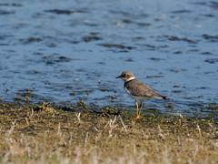 2015 dcembre, Voyage au Maroc (odileva) Tags: maroc oiseaux dcembre oualidia doukkalaabda petitgravelotcharadriusdubius