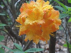 Yellow Flowers in Bilpin Gardens (pat.bluey) Tags: bilpingardens newsouthwales australia wildwoodgardens flowers 1001nights 1001nightsmagiccity