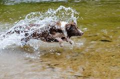Kyra flying (mcvmjr1971) Tags: travel dog beach brasil swim fun 50mm nikon collie play sopaulo border joy run cachorro viagem litoralnorte sosebastio barradouna prais f18d lensnikkor d7000 mmoraes
