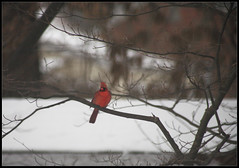 Waiting in the Cold (ioensis) Tags: snow cold saint st louis cardinal snowy mo missouri february webster groves 2016 33021bjohnlangholz2016