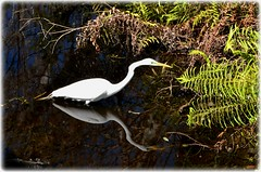 Sawgrass Lake Park -St Petersburg, Florida (lagergrenjan) Tags: park lake bird st florida petersburg sawgrass