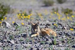 Coyote, Death Valley (2) (Bob Palin) Tags: usa california deathvalley coyote outdoor animal nationalpark orig:file=2016012804712 nature wildlife desert 100vistas instantfave 15fav 510fav