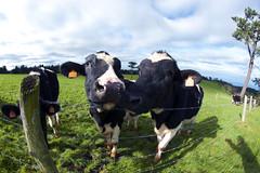 Milk (LuisGoiti) Tags: sky green nature animal cow spain nikon outdoor asturias fisheye 8mm samyang d3300