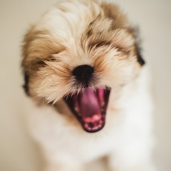 Bisou Bisou (zeniale) Tags: dog pet pets dogs animal animals tongue closeup mouth puppy square nose puppies bokeh expression shihtzu yawn indoor portraiture expressive maltese