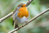 Another robin (Shane Jones) Tags: bird robin nikon tc14eii 200400vr d7200