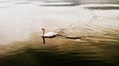 * (PattyK.) Tags: lake swan europe february whereilive ilovephotography 2016 ioannina giannena pamvotida  lakepamvotida ioanninalake   samsungj5