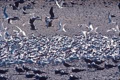 Elegant terns & Heermann's Gulls (mueflickr) Tags: bajacalifornia colony seabird gulfofcalifornia heermannsgull eleganttern islarasa borderfx