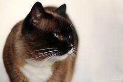 Eliot (Mariie76) Tags: snowshoe chat noir yeux animaux marron blanc birman flin bleus sacrdebirmanie