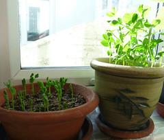 Pea Shoots (karenblakeman) Tags: uk garden reading peas february peashoots caversham 2016 readingfoodgrowingnetwork rfgn