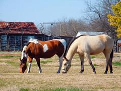 fairlie texas (reluctant_paladin) Tags: county horse abandoned wheel rural wagon paint texas wheels hunt buckskin fairlie offthebeatenpathtexas