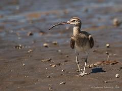 Numenius phaeopus (Gmo_CR) Tags: bird birds costarica birding aves caldera ave birdwatching whimbrel numeniusphaeopus cocora zarapitotrinador cocorocas chomes matadelimón