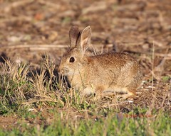 Cottontail at breakfast (Victoria Morrow) Tags: droh dailyrayofhope dailyrayofhope2016