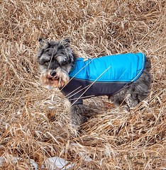 Shaggy mess (Pep's Hiking Team) Tags: nikon hiking schnauzer 2016 traildog ruffwear wildernessdogs adventuresniffer