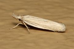 Crambidae (Moth sp) - South Africa (Nick Dean1) Tags: insect southafrica moth lepidoptera animalia arthropoda krugernationalpark insecta lowersabie hexapoda crambidae