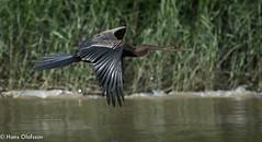 Oriental Darter (Hans Olofsson) Tags: anhiga anhingamelanogaster borneo darter kinabatanganriver myneresort orientaldarter ormhalsfågel river inflight flyktbild