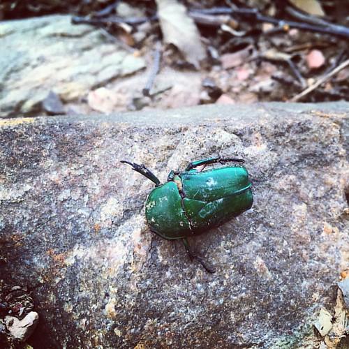 死去的甲虫