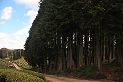 Heavenly Tea Fields (Obubu Tea) Tags: winter kansai japanesetea teafield wazuka japaneseteafields obubu obubutea