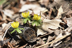 Spring is coming! (jennywalters88) Tags: aconite sharonwoods winteraconite jennywaltersphotography leapday2016