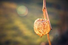 Lampionpflanze (ilona.kuckuck) Tags: sonnenuntergang lampion
