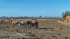 20150226 Brandenburg Khe Radweg Berlin Leipzig (50) (j.ardin) Tags: germany deutschland cow cattle alemania allemagne brandenburg khe buey rinder viehzucht buf bouvillon radwegleipzigberlin wittenbergnachjterbog