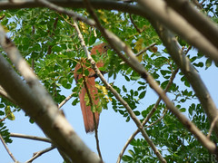 Piaya cayana (Luis G. Restrepo) Tags: p2000864 pjaro piayacayana cucoardilla squirrelcuckoo abejorral antioquia colombia southamerica cuculidae ave bird