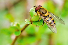 Hoverfly on Leaf of Flowering Quince :  (Dakiny) Tags: plant macro tree nature animal yellow japan bug insect march fly spring nikon bokeh outdoor yokohama hoverfly aoba 2016 flowerfly knagawa d7000 nikonclubit afsnikkor50mmf18g nikonafsnikkor50mmf18g obacho