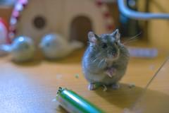 &-Natural dullness (AllenPan02) Tags: pet cute nature closeup mouse hamster lovely
