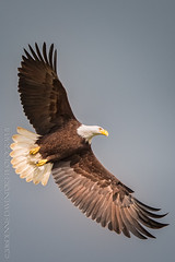 Royalty in Flight (DennisDavenportPhotography) Tags: flight baldeagle ridgefield avianexcellence