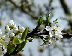 2016-04-09 Blooming cherry-tree (april-mo) Tags: blur france flower cherry spring blossom blossoms blurred printemps cherrytree nord cerisier blooming bloomingtree flouartistique arbreenfleurs