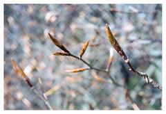 Beech (leo.roos) Tags: spring hedge buds triplet lente a7 beech knoppen beuk fixedlens madeintaiwan beukenhaag 3435 darosa squarebubbles squarebokeh leoroos 2blades vastelens exaktaf50viewfindercamera lensrefitfordigital adaptedtoemount
