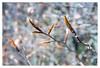 Beech (leo.roos) Tags: a7 beech hedge beuk beukenhaag buds knoppen spring lente exaktaf50viewfindercamera madeintaiwan 3435 lensrefitfordigital squarebokeh 2blades darosa leoroos triplet squarebubbles fixedlens vastelens adaptedtoemount