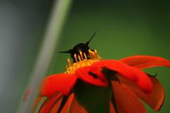 Sorbe del nectar (Govinda John) Tags: naturaleza flower macro nature canon echinacea flor abejorro macrofotografa canont5i