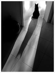 Micky (posing) (EOS1DsIII) Tags: shadow bw silhouette cat germany deutschland frankfurt katze schwarzweiss schatten eos1dsiii bestcapturesaoi elitegalleryaoi