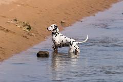 Un Dalmata (Photo Valdueza) Tags: agua playa arena perros mascotas dalmata