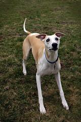 Incredible (DiamondBonz) Tags: dog pet play hound whippet spanky dogchal