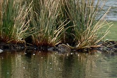 Jack Snipe. (stonefaction) Tags: nature birds jack scotland fife wildlife pools snipe letham
