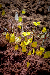 Butterfly Swarm (ScottMcQueen) Tags: africa butterfly monarch zambia monarchbutterfly travelphotography yolo guidedtour brushfootedbutterfly gadventures veinedorangebutterfly