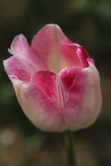 Tulip, Beijing (NovemberAlex) Tags: china flowers colour tulips bokeh beijing flowercloseup