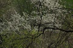 printemps (bulbocode909) Tags: nature fleurs branches vert arbres printemps feuilles