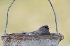 Junco in a Bucket-44041.jpg (Mully410 * Images) Tags: bird birds bucket wire backyard junco birding copper birdwatching birder darkeyedjunco