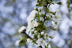 Cherry Tree (DilluSingh) Tags: flower tree cherry bokeh beyondbokeh irinasohanpal