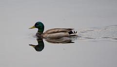 Mallard (Mackoto) Tags: bird water duck nikon mallard quack d3200