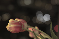 Tulips in moonlight (Exdeltalady) Tags: macro tulips bokeh circles dots